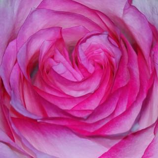ROSE LOVE ALIGHT