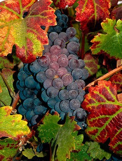 Grapes3V2