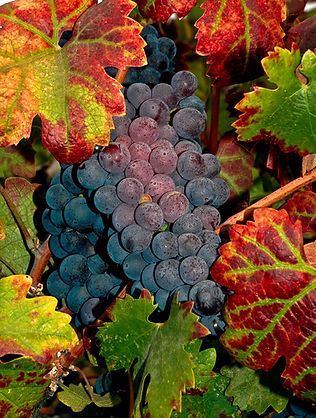 Grapes, Fall Harvest, Vines, Color, Red, Green Yellow, Purple