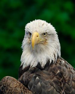 Bald Eagle 11x14 flat