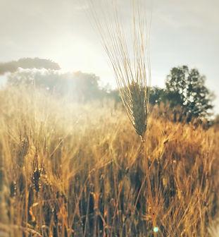 il grano, materie prime di qualità