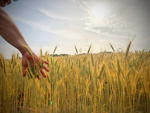 campo di grano locanda la sementa