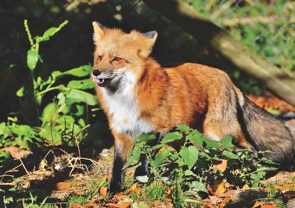 red-fox-2330229_1296x.jpg