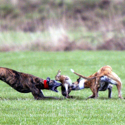 hare_coursing_600x600.png