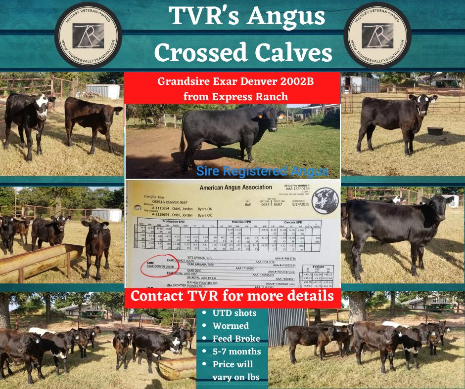 TVR Angus Cross Calves Sale .png
