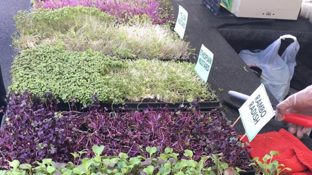 microgreens grown in soil