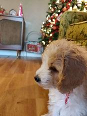 mini goldendoodle puppy michigan