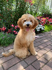 mini goldendoodle puppy michigan