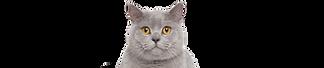 grey cat.png
