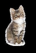 cat tiger.png