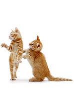 2 orange cats.jpg