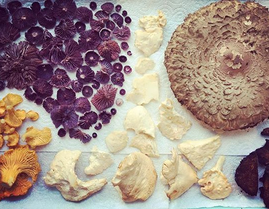 Yesterday's pickings. Amethyst deceivers, chanterelles, hedgehogs, Chaga and a shaggy parasol.jpg