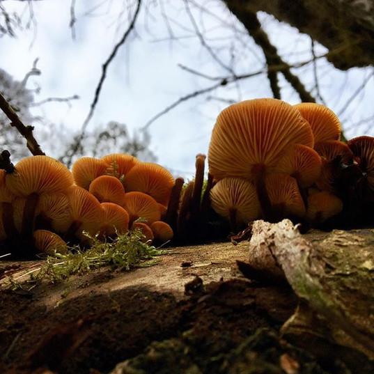 Beautiful Flammulina velutipes aka Velvet Shanks #forage #wildfood #wildmushrooms