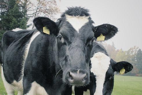 cows-1264545.jpg