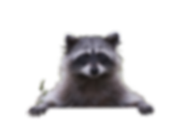 Peaking-Raccoon.png