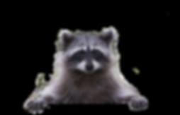 Peaking-Raccoon.png