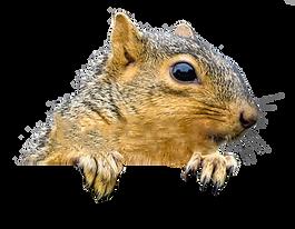 Peaking-Squirrel.png