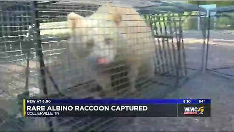 albino raccoon - knoxville tn - memphis