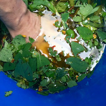 Water Extract: Boil the leaves and stems, filter through a strainer, and use as a spray to alleviate the itching caused by poison ivy.
