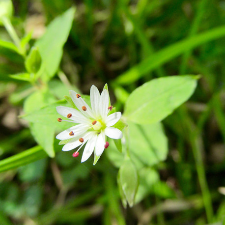 Chickweed (Stellaria media.) Chickweed is a lovely native plant that can be eaten plain or added to any preparation. It has a cooling and soothing effect and is also rich in vitamins and minerals.