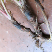 Dandelion root (Taraxacum sp.)