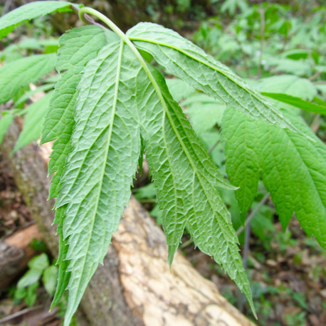 Black Cohosh(Actaea racemosa.) Many herbs of Appalachia are mentinoed in traditional Chinese medicine as the climates of both the Southeastern US and China are very similar; allowing the same plants and herbs to grow in both geographical regions.