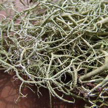 Usnea (Parmeliaceae sp.) Usnea is a lichen that grows on hemlock trees. You can make a decoction (boiling in water for 15-30 mins) and drink as needed when you have a cough.