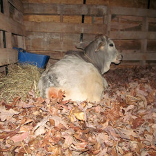 Santana resting nicely in on his bed of fresh leaves.