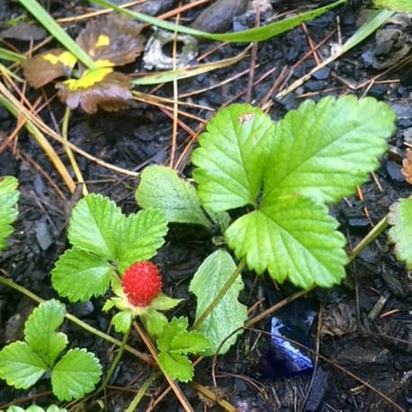 Wild Strawberry(Fregaria vesca)