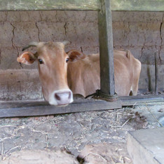 Melanadi Gir is a local breed of cow from Karnataka