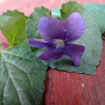 Violet (Violaceae species.) Violet leaves and flowers make a wonderful syrup that can be mixed with honey to soothe a sore throat.