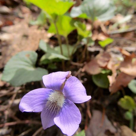Violet (Violaceae sp.)