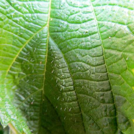 Stinging Nettles(Urtica dioica.) Stinging nettlescan be boiled and eaten similar to spinach. Nettles are also excellent for womens health, have a very high amount of minerals, and have anti-histamine qualities to help soothe rashes.