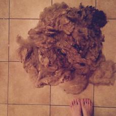 "A ""fleece"" - fleshly sheared sheep's wool"