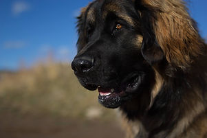 Lenny the Leonberger