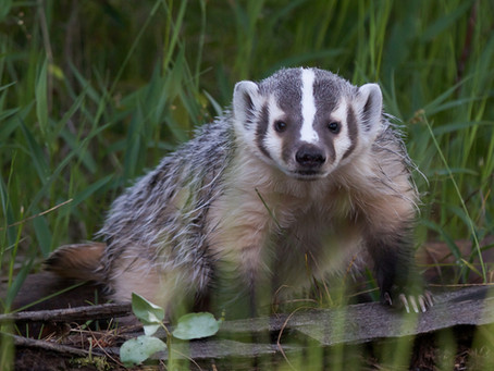 Dig This: American Badgers Are Digging Machines