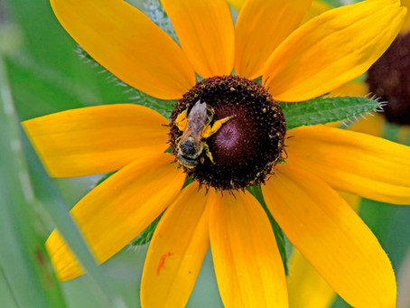Why Do Bees Sting?