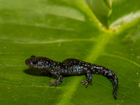 Blue-Spotted Salamander Sports Rare Flash of Blue In Animal Kingdom