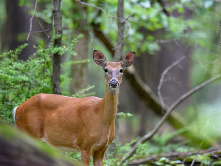 Oh, Deer: These Beloved Creatures Now Abundant in Illinois