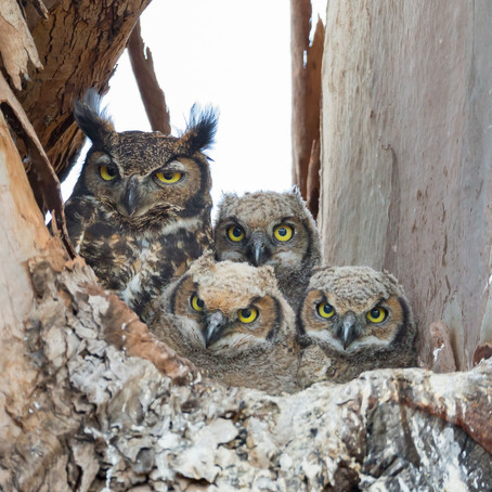 5 Fascinating Facts About Great Horned Owls