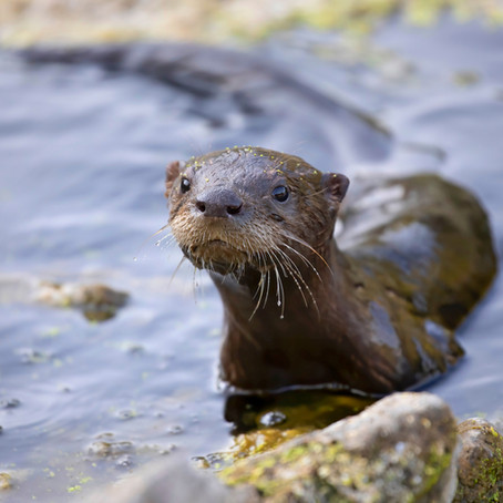 5 Fun Facts About Playful River Otters