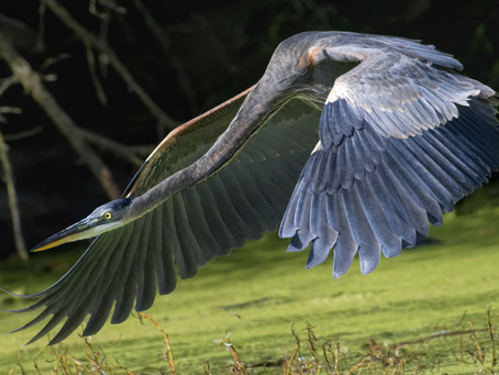 The Big and Beautiful Great Blue Heron