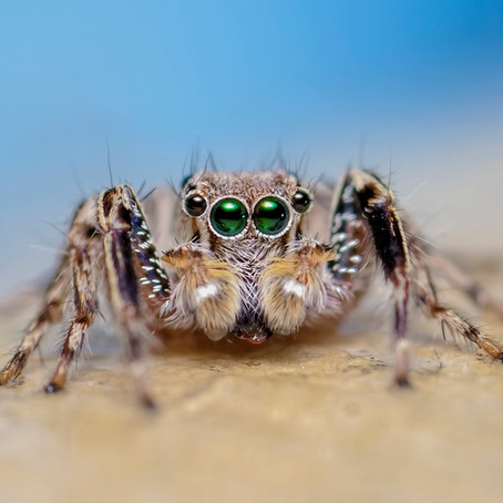 Why Do Spiders Have So Many Eyes?