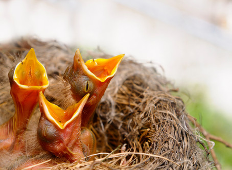 It's OK To Handle A Baby Bird, But Many Don't Need Help