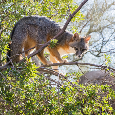 A Fox in a Tree? Gray Foxes Are Good Climbers