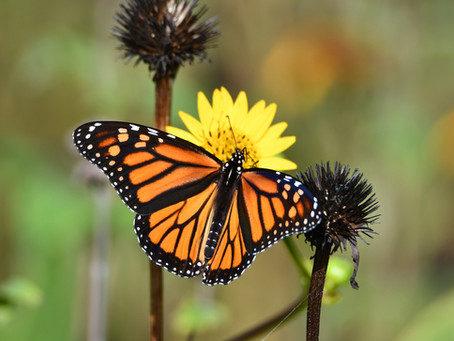 Beloved Monarchs Easy To Identify, Admire