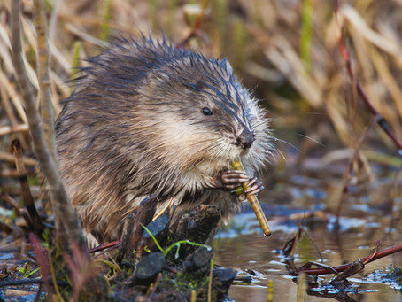 The Mysterious Muskrat Abounds in Illinois