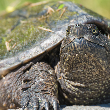 A Tale of Two Snapping Turtles