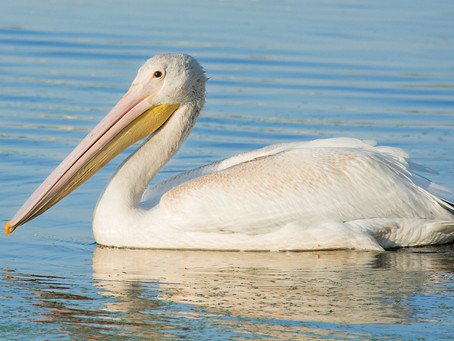 American White Pelicans Are Welcome Visitors