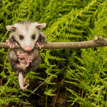 Myth Buster: Opossums Don't Hang By Their Tails
